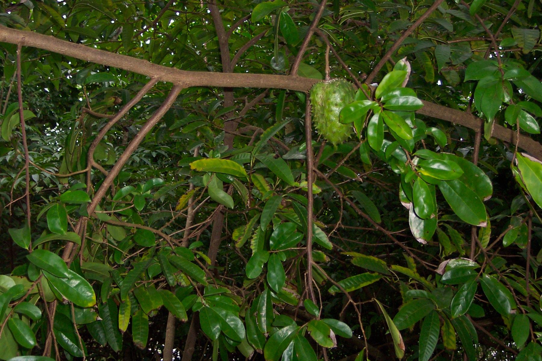 le corossol, fruit du graviola