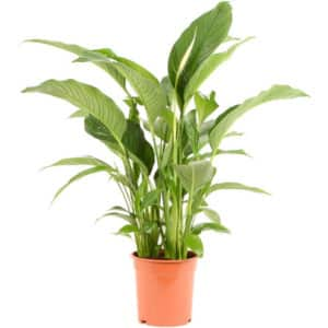 Spathiphyllum Sweet Lauretta Ø21